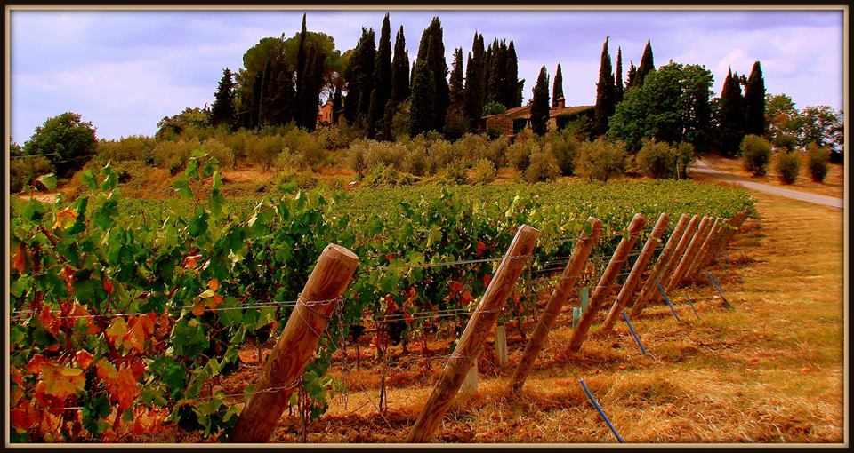 Vineyards and Cypress trees in Tuscany