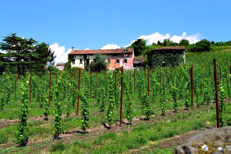 Vineyards near Breganze